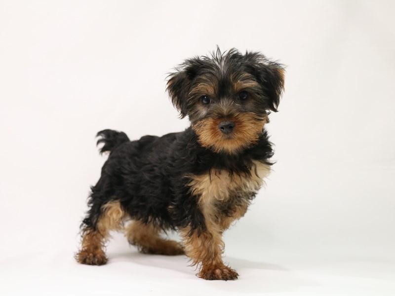 Yorkshire Terrier-Male-Black / Tan-3305844-My Next Puppy