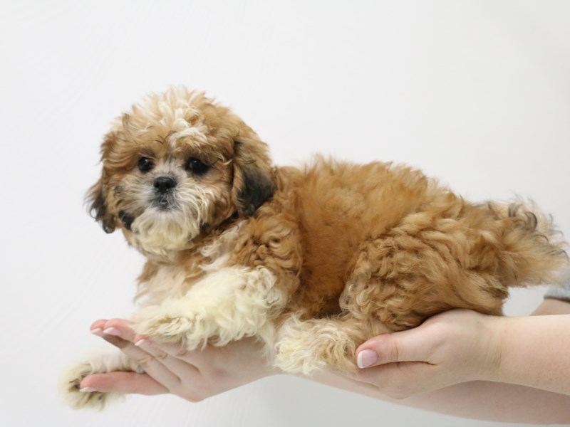 Teddy Bear-Female-Gold-3305839-My Next Puppy