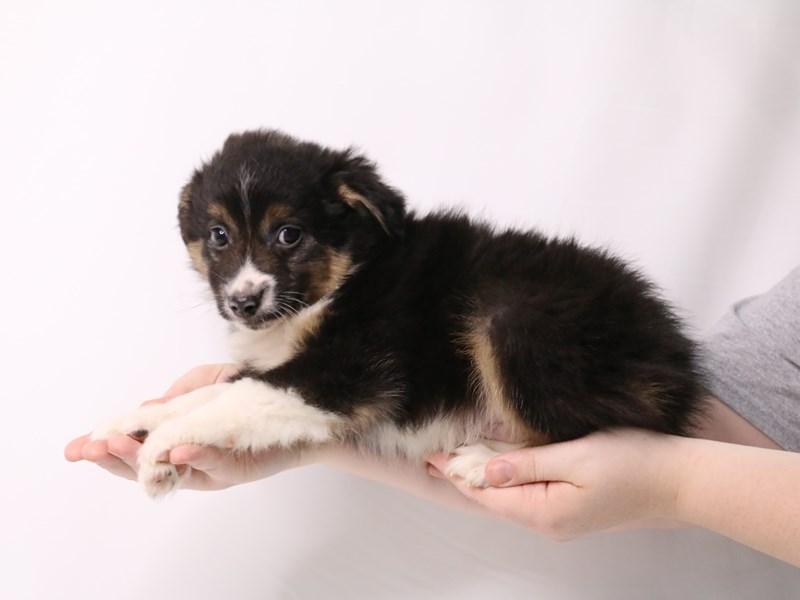 Miniature Australian Shepherd-Male-Black-3247664-My Next Puppy