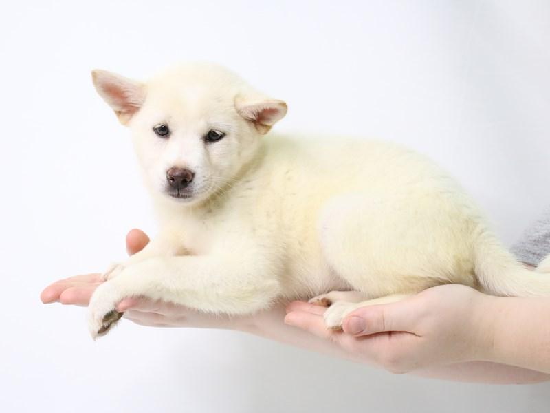 Shiba Inu-Female-Cream-3247720-My Next Puppy