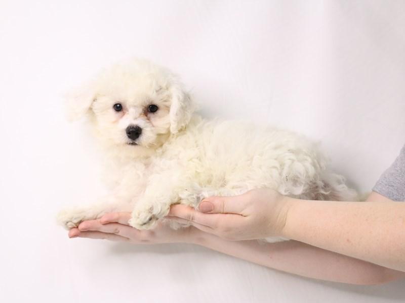 Bichon Frise-Male-White-3259747-My Next Puppy