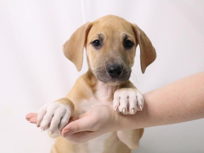 Great Dane-Female-Fawn-3257932-My Next Puppy