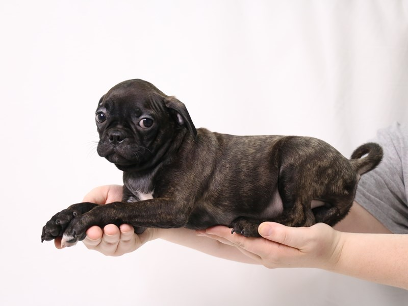 Bugg-Male-Brindle-3269316-My Next Puppy