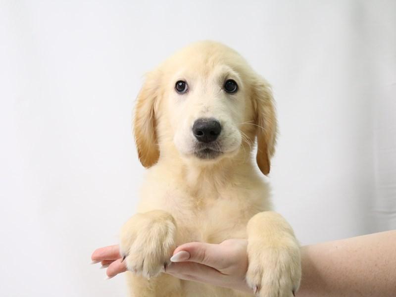 Golden Retriever-Male-Gold-3296158-My Next Puppy