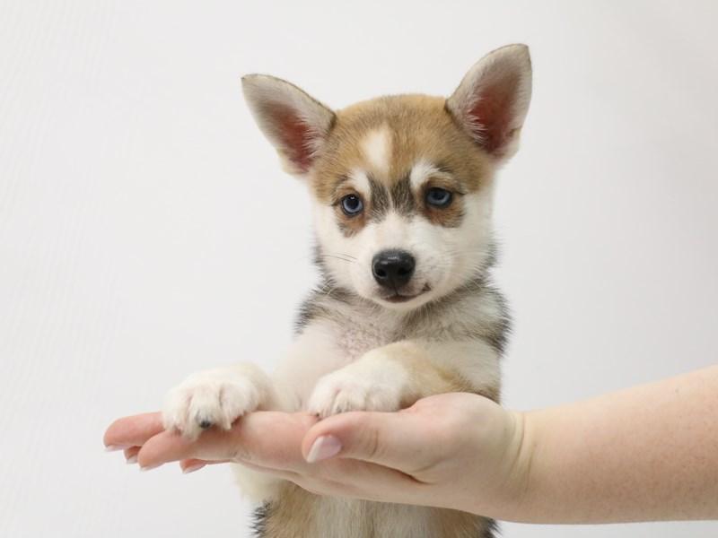 Alaskan Klee Kai-Male-Agouti / White-3305862-My Next Puppy