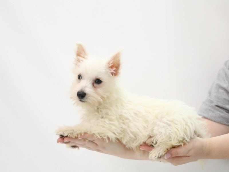 West Highland White Terrier-Male-White-3305848-My Next Puppy