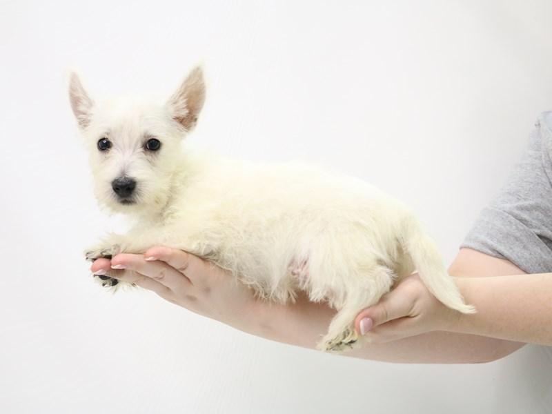 West Highland White Terrier-Female-White-3305855-My Next Puppy