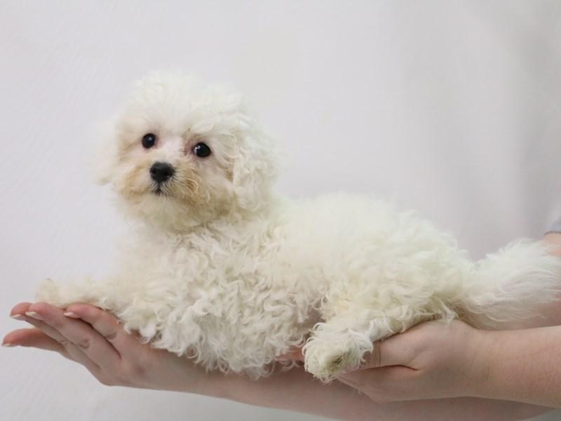 Bichon Frise-Female-White-3324993-My Next Puppy