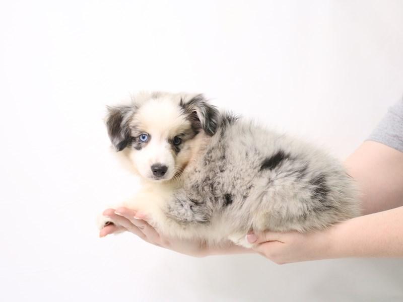 Miniature Australian Shepherd-Female-Blue Merle / White-3324997-My Next Puppy