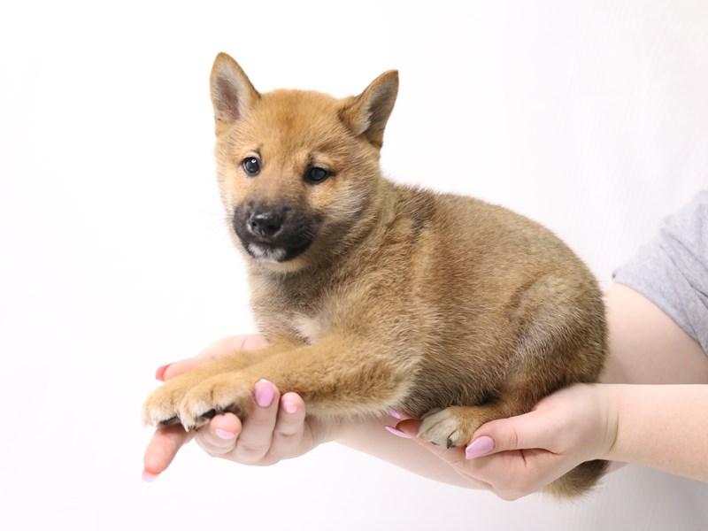 Shiba Inu-Male-Red Sesame-3331853-My Next Puppy