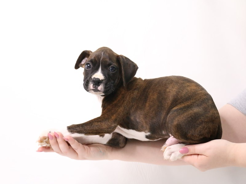 Boxer-Male-Brindle / White-3349702-My Next Puppy